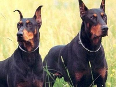 Продажа Тренированных Собак в Санкт-Петербурге