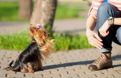 дрессировка декоративных собак