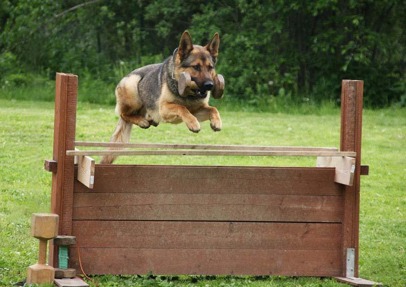 дрессировка спортивных собак