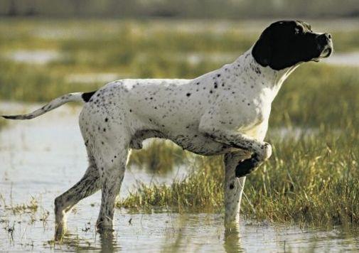 охотничьи собаки для охраны