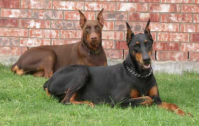 охрана с двумя собаками
