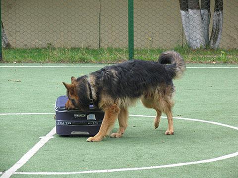 поиск взрывчатых веществ с собаками