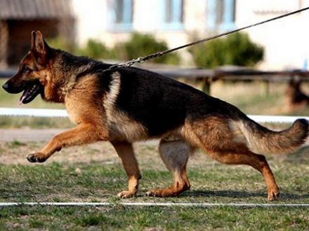 служебные собаки - охрана территории